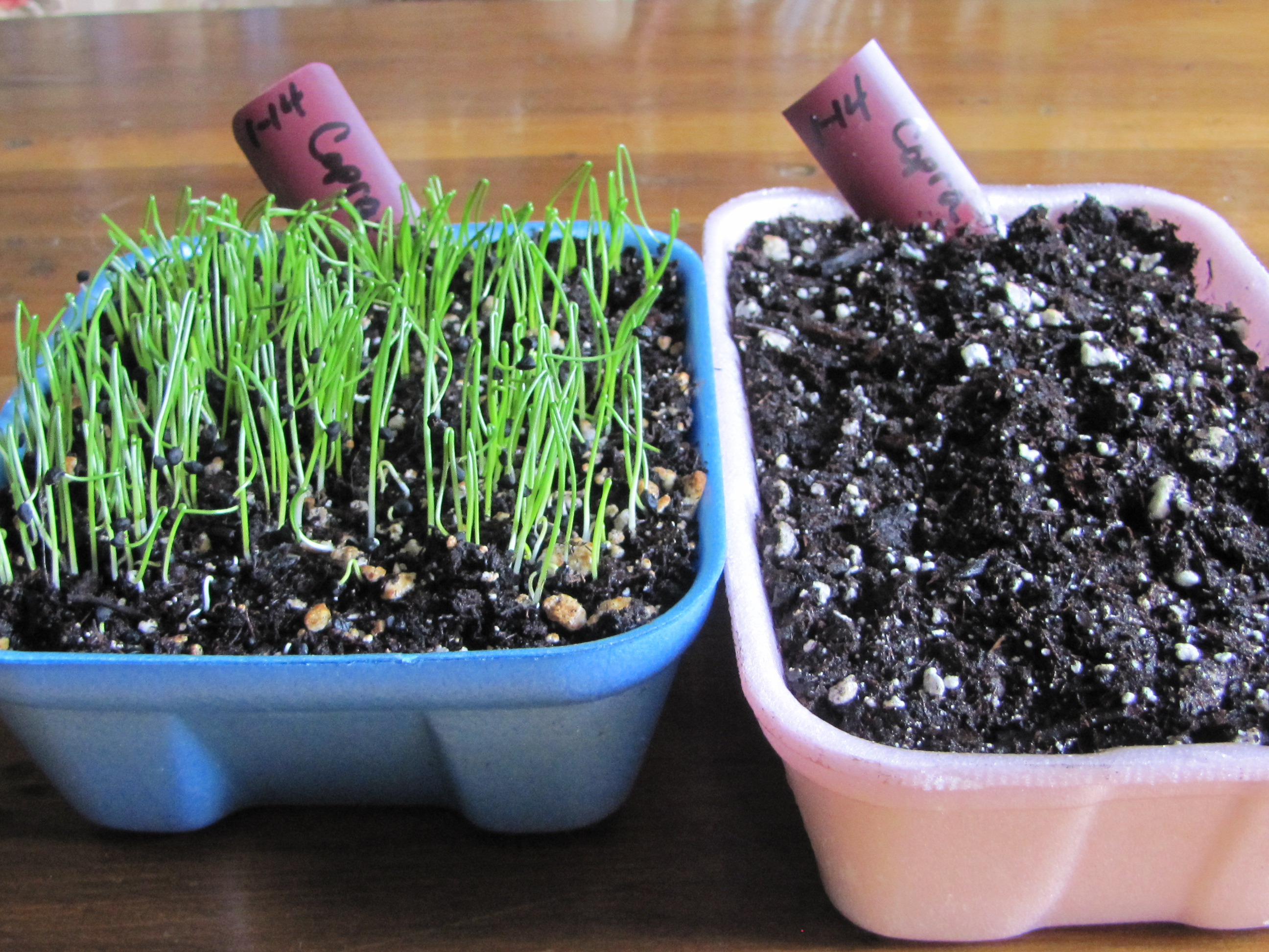 uh oh onion seedlings yes and no