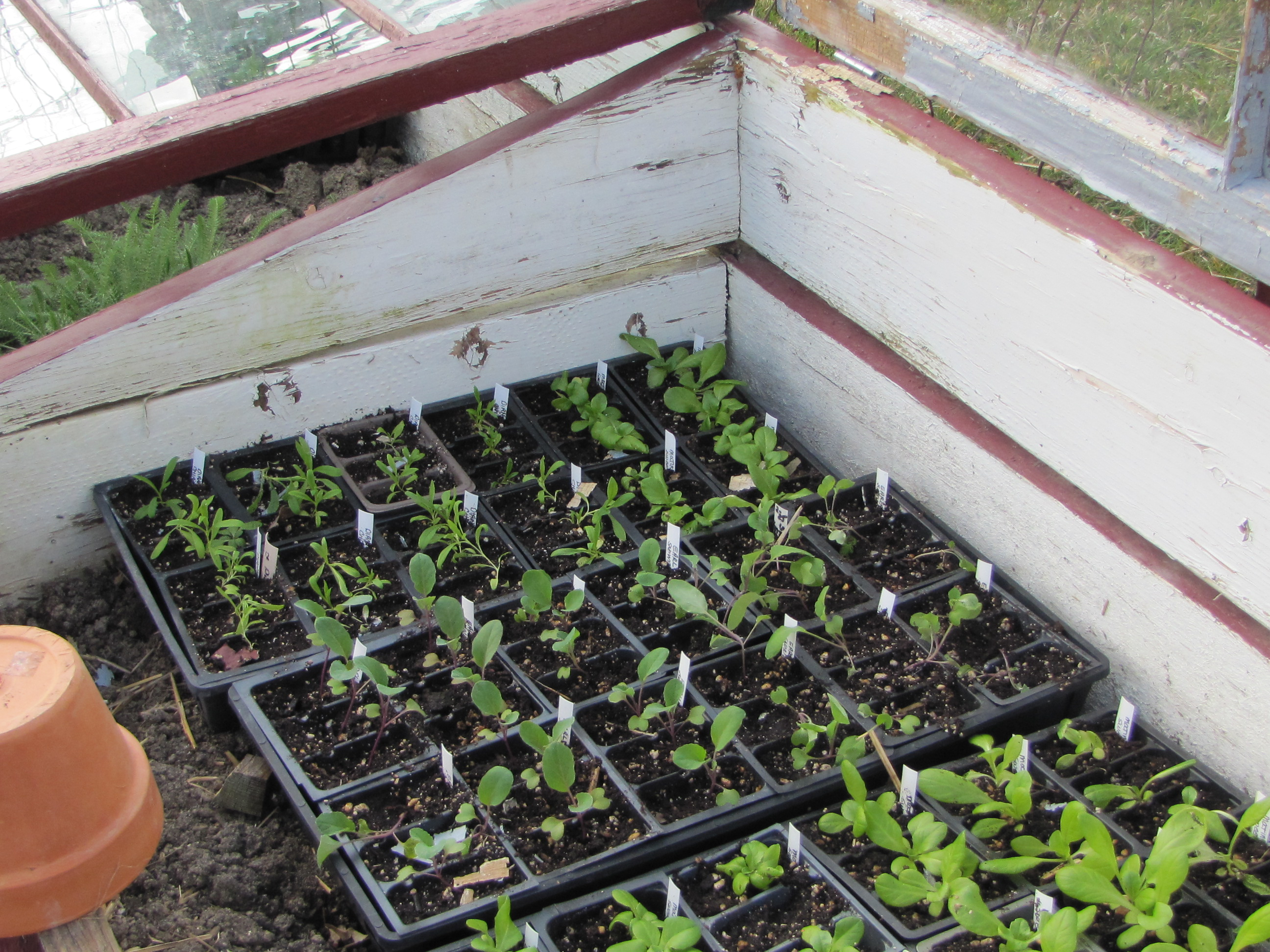 April coldframe with seedlings