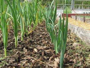 May 8 perennial leeks small