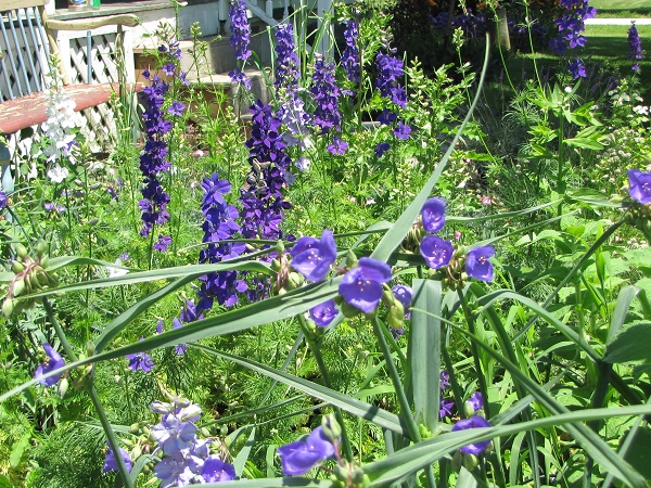 larkspur and spiderwort 6 12 13 small