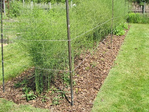 asparagus bed June 5 small