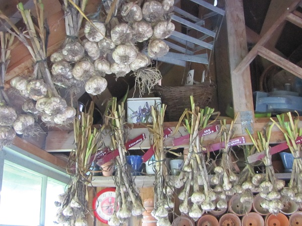 garlic drying 1small