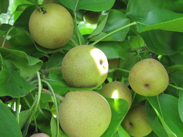 July 24 Asian pears small