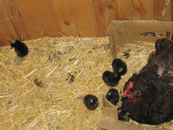 broody hen 5 small