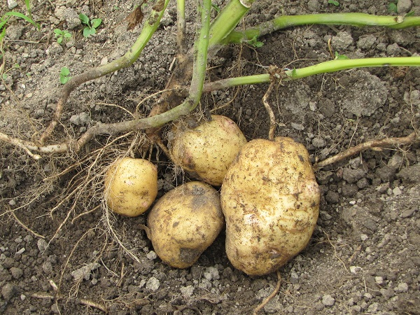 potato from 1 plant 8 2013 small