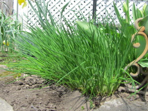 chives-2013