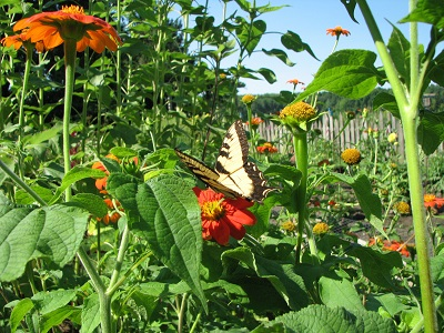 tithonia butterfly 400