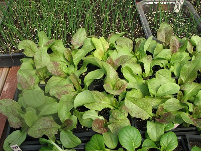 lettuce and onion seedlings 400
