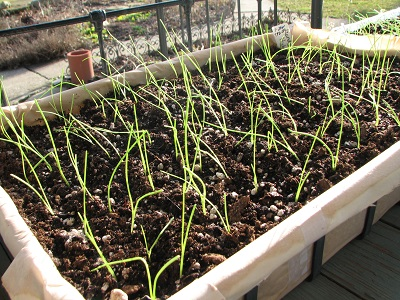 onion seedlings flat done 400