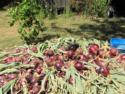 onions initial drying 400