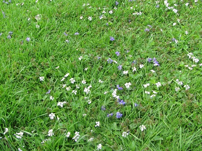 5 7 14 violets in the lawn 400